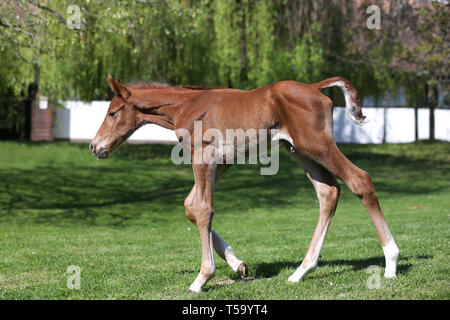 One day old purebred chestnut foal playing first time in the green - Stock Photo