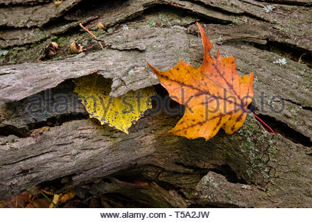 A single maple leaf and an aspen leaf are caught in the bark of a fallen tree in early autumn in the Pike Lake Unit, Kettle Moraine State Forest,  Wis - Stock Photo
