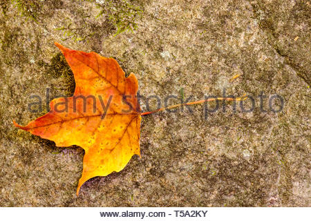 A lone maple leaf rests on a boulder, having recently fallen during autumn within the Pike Lake Unit, Kettle Moraine State Forest,  Hartford, Wisconsi - Stock Photo