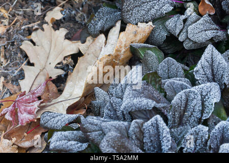 Frost-covered bugleweed plant with purple foliage, brown oak leaves and a red leaf from a Bloodgood maple on an autumn morning in November. - Stock Photo