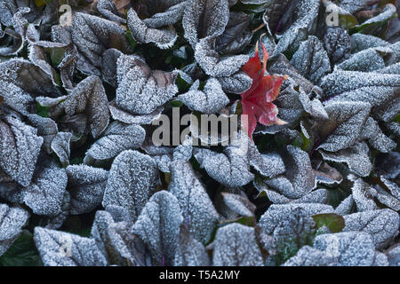 Frost-covered bugleweed plant with purple leaves and a red leaf from a Bloodgood maple on a chilly morning in November. - Stock Photo