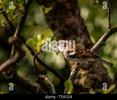 House Sparrow perched in the branches around Glaslyn Osprey Project - Stock Photo