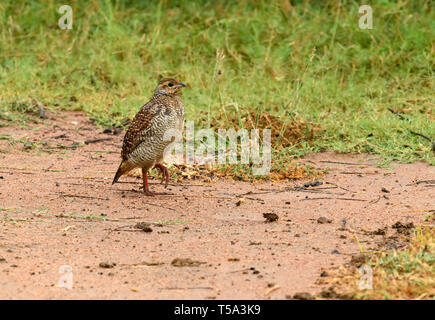 Grey francolin bird wandering in the deserted land on winter morning - Stock Photo