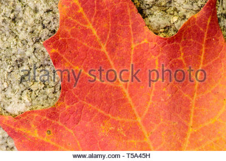 The veins of an autumn maple leaf are slightly yellow against the red coloration of the leaf, as it rests on a bouder within the Pike Lake Unit, Kettl - Stock Photo