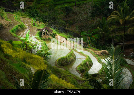 Aerial paddy field, Rice Terraces in Bali - Stock Photo