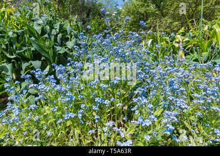 Forget-Me-Nots, AKA Scorpion Grasses, small blue flowers from the genus Myosotis, flowering in late Spring in the UK. Blue Forget-Me-Not. - Stock Photo