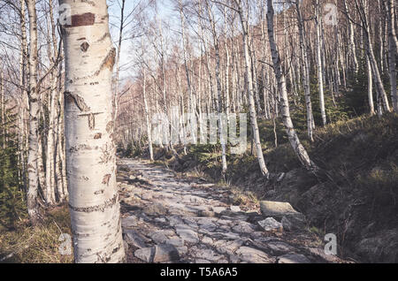 Close up picture of a birch tree in a mountain forest, selective focus, color toning applied, Karkonosze National Park, Poland. - Stock Photo