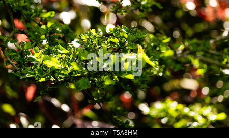 New leaves and buds on a branch of a Hawthorn tree (Crataegus) in East Devon, South West England, United Kingdom. - Stock Photo