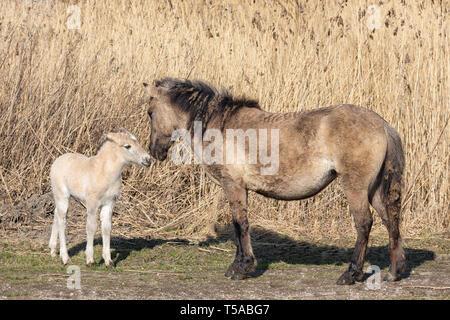 Canebrake with Konik horses in Dutch National Park Oostvaadersplassen - Stock Photo