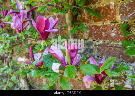 The flowers of a pink Mulan Magnolia tree espalier (Magnolia liliiflora) in a garden in Southern England, UK - Stock Photo