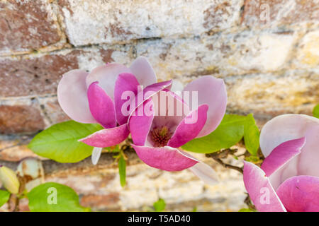 Pink, rose coloured flowers of the Magnolia soulangeana, also called saucer or Chinese Magnolia espaliered on a wall in Southern England in spring,UK - Stock Photo