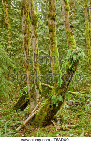 Squak Mountain State Park in Issaquah, Washington, USA.  Licorice Ferns growing out of the side of a moss-covered tree, with Western Swordferns on the - Stock Photo