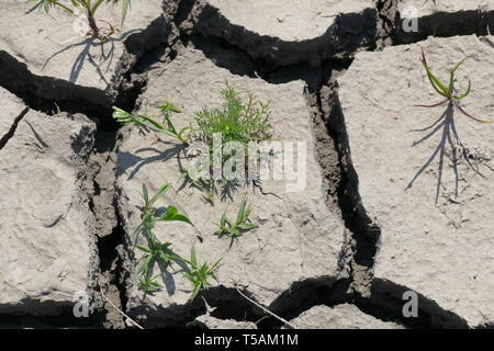 Cracked dry land. Drought, waterlessness. Disaster. Small plants thirst for rain. - Stock Photo
