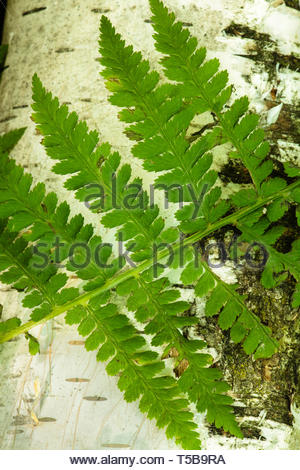 A fern leaf lies over the white bark of the birch tree within the Harrington Beach State Park, Belgium, Wisconsin in early June - Stock Photo