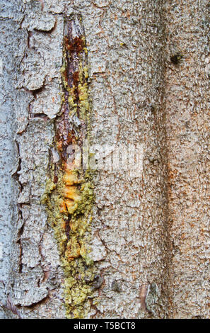 Resin dripping from a pine tree, close-up of the bark of a Norway spruce - Stock Photo