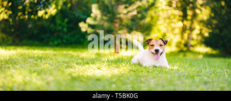 Happy Jack Russell Terrier pet dog lying down on green grass at back yard lawn - Stock Photo