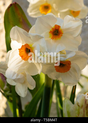 Pure white petals and an orange cup of the fragrant, multi headed, spring flowering hardy bulb, Narcissus tazetta 'Cragford' - Stock Photo