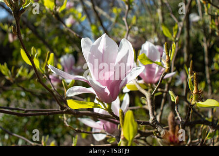 Pink magnolia iliiflora flowers at the blurred sunny garden background - Stock Photo