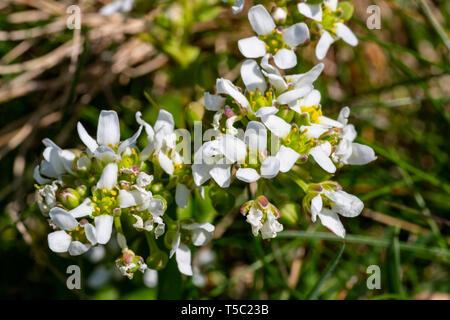 Irish Wildflower, English Scurvygrass, Cochlearia anglica, Carrán muirisce, Watercress, Valentia Island, County Kerry, Ireland Stock Photo