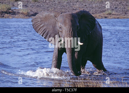 Botswana. Central Kalahari Game Reserve. African Bush Elephant. (Loxodonta africana) - Stock Photo