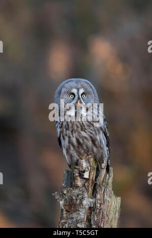 Bartkauz, Strix nebulosa, great grey owl - Stock Photo