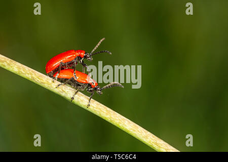 Lily Beetle, Lilioceris lilii, mating pair on fritillary stem, Monmouthshire. Family  Chrysomelidae - Stock Photo