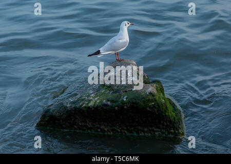 Sea gull looking out to sea . Seagull on rock near the sea in nature . The Seagull is standing on a rocky mound . Seagull on the Pacific Ocean Shore . - Stock Photo