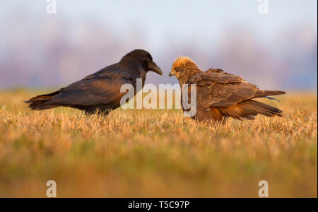 Western Marsh Harrier and Common Raven stand in front of each other - Stock Photo
