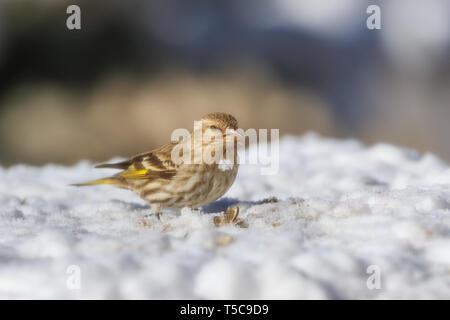 Pine Siskin (Spinus pinus) sitting in the snow - Stock Photo