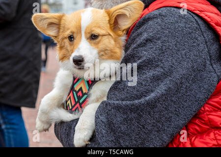 A happy, contented dog sits on it's owner's lap. - Stock Photo