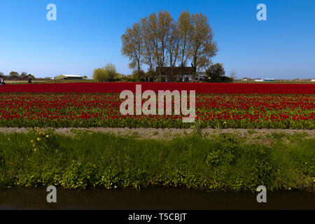 Typical Dutch view of the flat landscape during spring with a small stream, field full of tulips and in the background a shed - Stock Photo