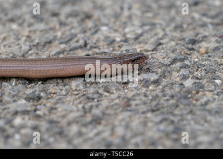Slowworm aka slow worm or blindworm, Anguis fragilis, face profile with tongue out. A reptile native to Eurasia. Aka a deaf adder. - Stock Photo