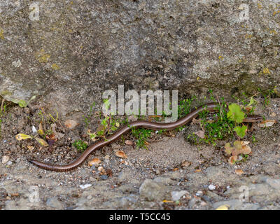 Slowworm aka slow worm or blindworm, Anguis fragilis, by wall. A reptile native to Eurasia. Aka deaf adder. - Stock Photo