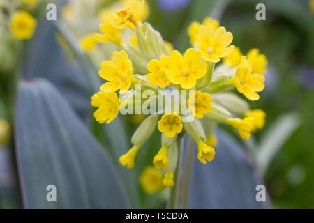 Primula veris. Cowslips in an English garden. - Stock Photo