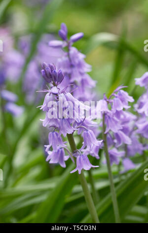 Hyacinthoides hispanica. Spanish bluebells self seeded in the garden. - Stock Photo