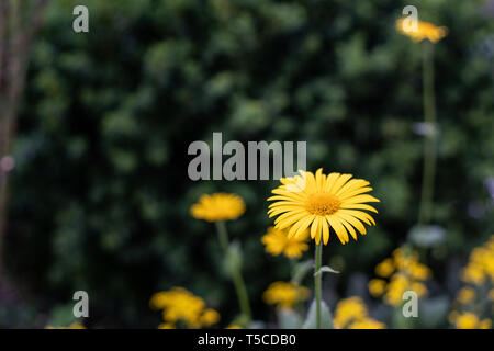 Yellow flowers of dyer's camomile (Anthemis tinctoria) - Stock Photo