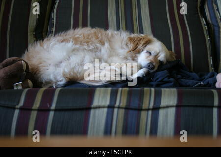 A very cute sleeping dog on a couch - Stock Photo
