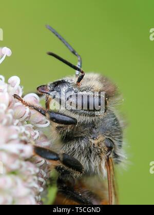The western honey bee or European honey bee, Apis mellifera - Stock Photo