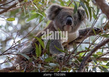 Koala perched in eucalyptus tree, Flinders Chase National Park, Kangaroo Island, Australia - Stock Photo