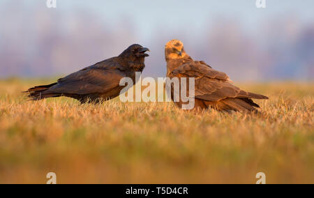 Western Marsh Harrier and Common Raven stand close together and talk with open beaks - Stock Photo