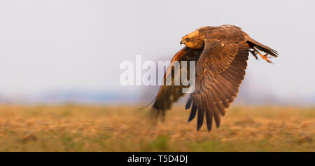 Female Western Marsh Harrier flies over the field with fully stretched wings - Stock Photo