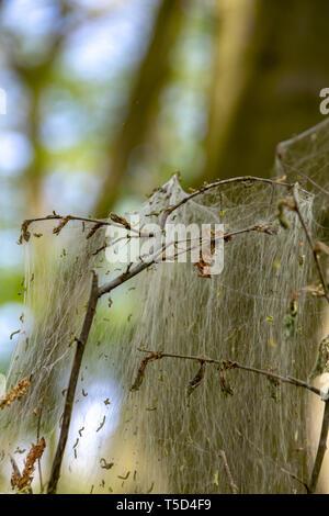 Winter moth caterpillar (Operophtera brumata) are a looper caterpillar and spin silk threads across forest, destroying the leaves and foilage of usual - Stock Photo