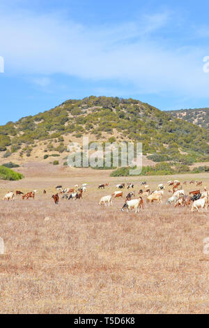Beautiful countryside landscape with herd of goats grazing on dry field close to small hills taken on a sunny day. Photo from remote Karpas Peninsula located in Turkish part of Cyprus. - Stock Photo