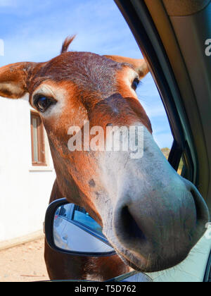 Adorable vertical photo of donkeys head looking into the car through opened car window. Taken in Karpaz Peninsula, Turkish Northern Cyprus. Wild donkeys are popular local attraction. - Stock Photo