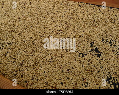 Raw coffee beans on drying rack - Stock Photo