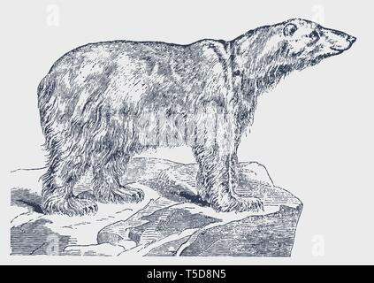 Endangered but smiling polar bear (ursus maritimus) standing on an iceberg. Illustration after a historic engraving from the 19th century - Stock Photo