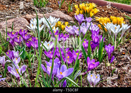 Large flowered crocus in bloom. - Stock Photo