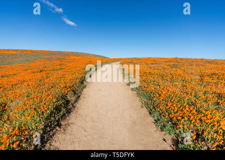 Inviting trail through poppy wildflower super bloom field in Southern California. - Stock Photo