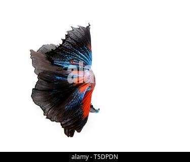 Multi-color betta fish, siamese fighting fish on white background - Stock Photo