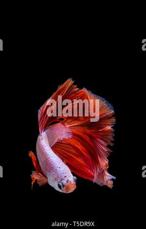 Pink and red betta fish, siamese fighting fish on black background - Stock Photo